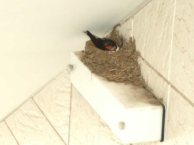 Swallow_nest